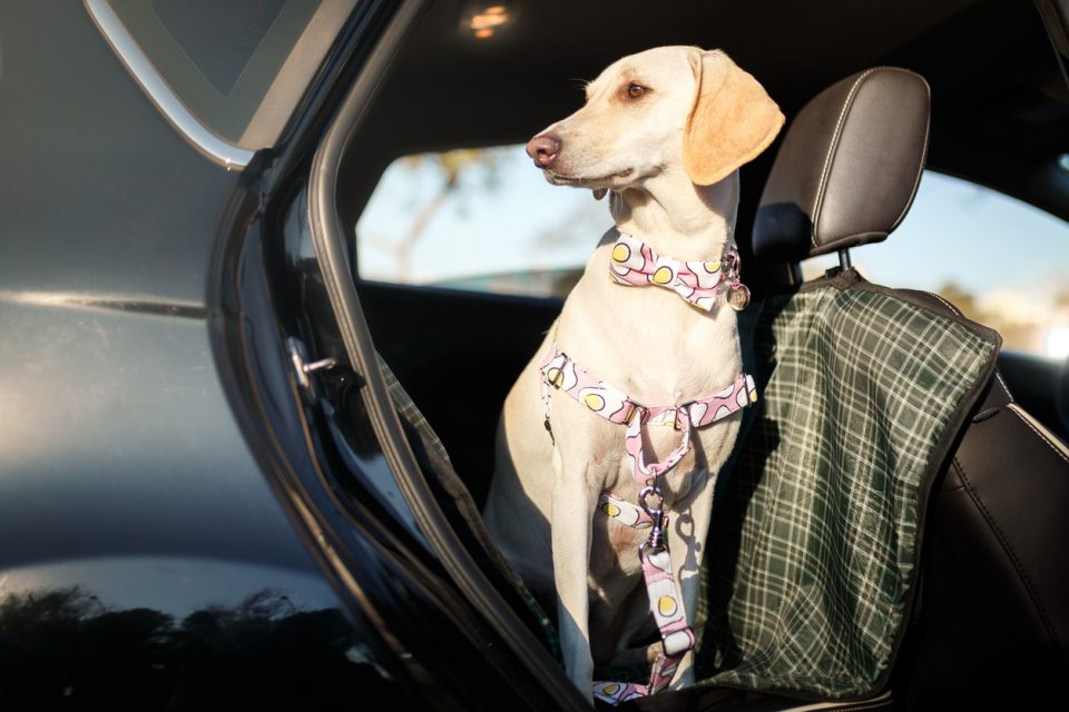 Dog in the back seat of the car