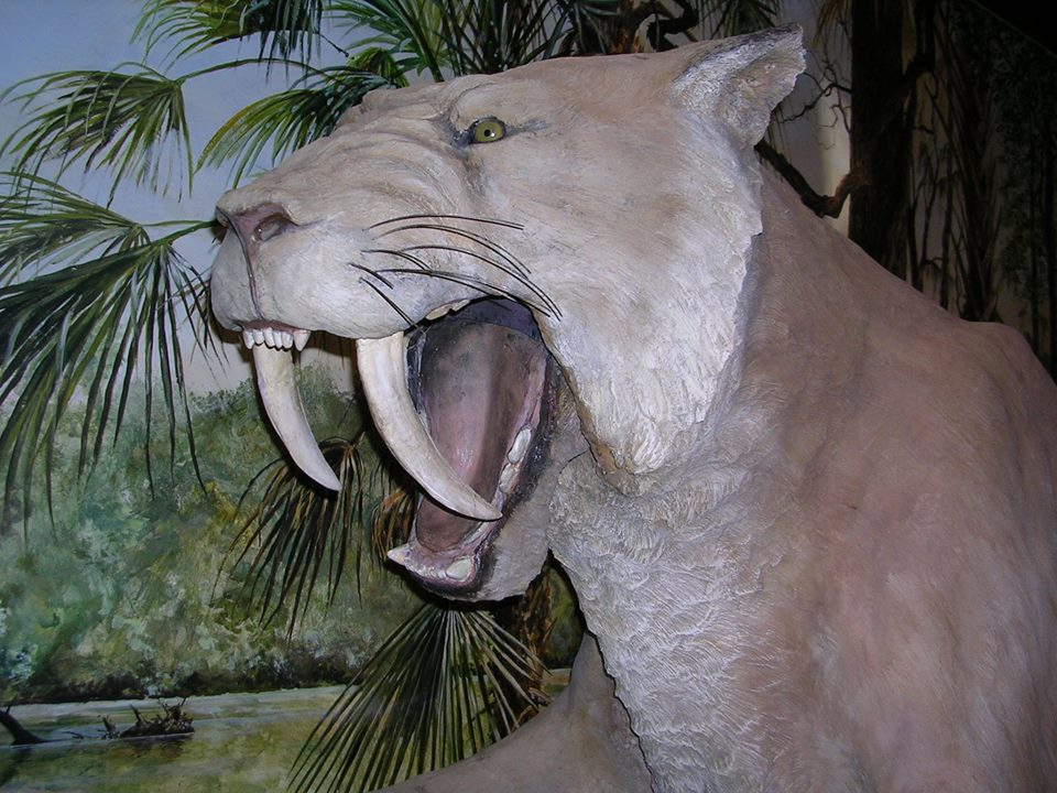 Silver River Museum - Saber-tooth Tiger