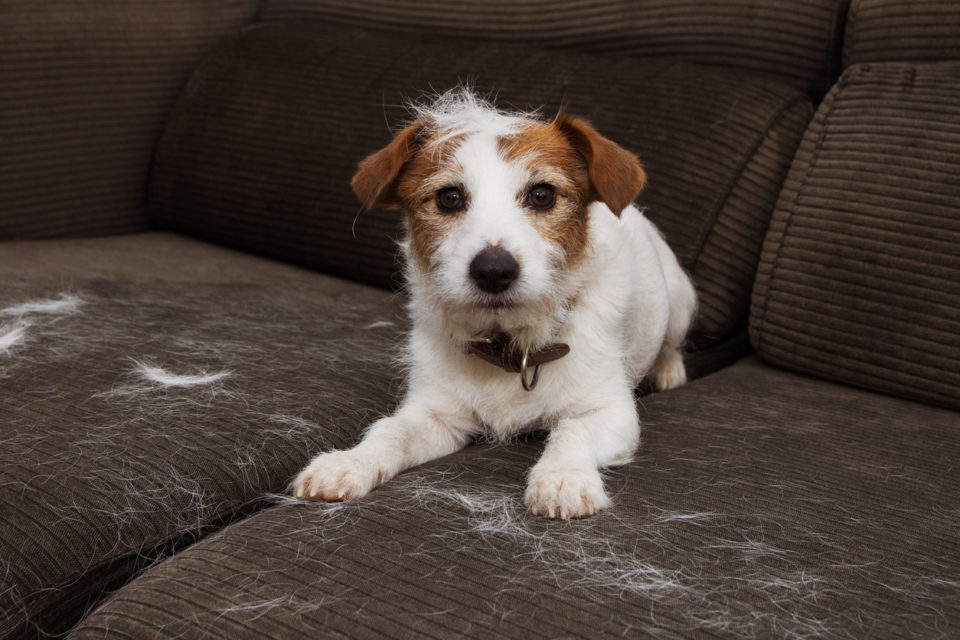 Furry dog sitting on the couch